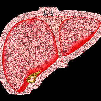 この画像には alt 属性が指定されておらず、ファイル名は 肝臓.png です